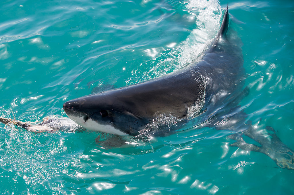 Kleinbaii, Shark Cage Diving